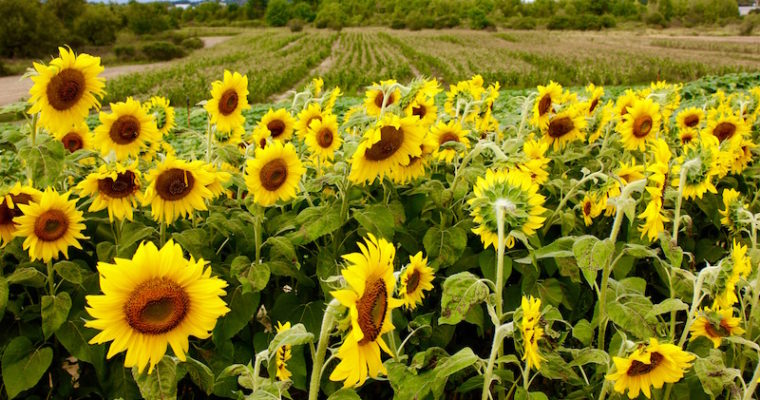 Visiting the Colby Farm Sunflower Field