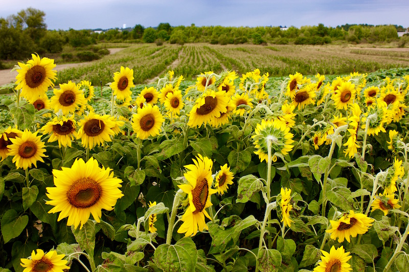 sunflowers at Colby Farm sunflower field