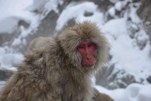 snow monkey at Jigokudani Snow Monkey Park in Japan